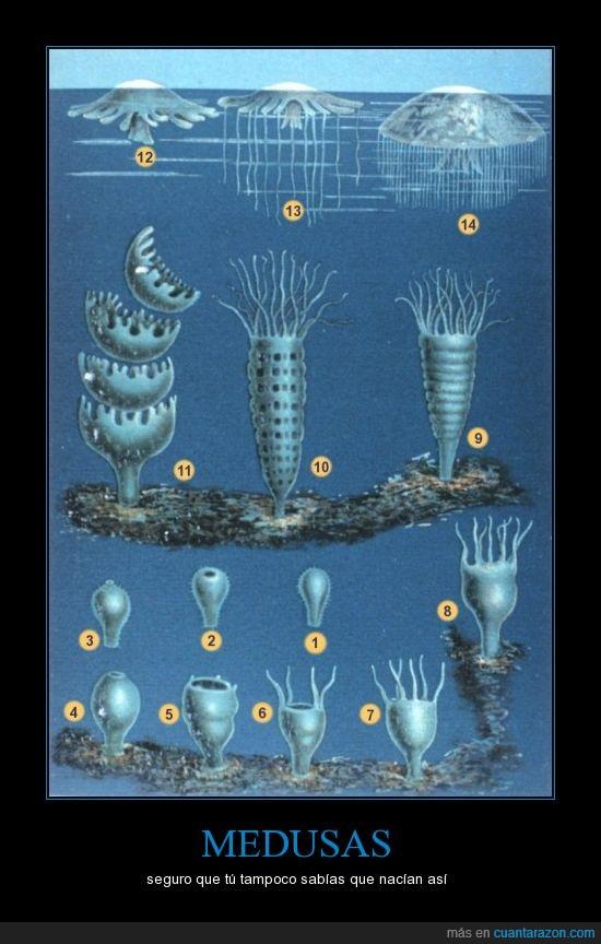 curiosidades,medusas,nacimiento