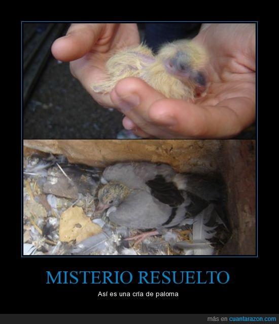 cría paloma,horrible,las palomas no nacen adultas,Pollo
