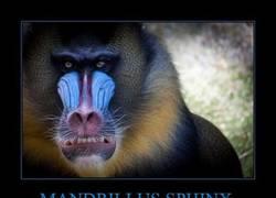 Enlace a MANDRILLUS SPHINX