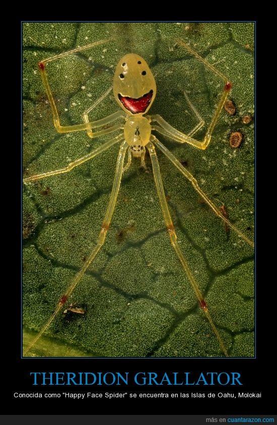 Araña,Cara,Face,Feliz,Grallator,Happy,Hawai,Spider,Theridion