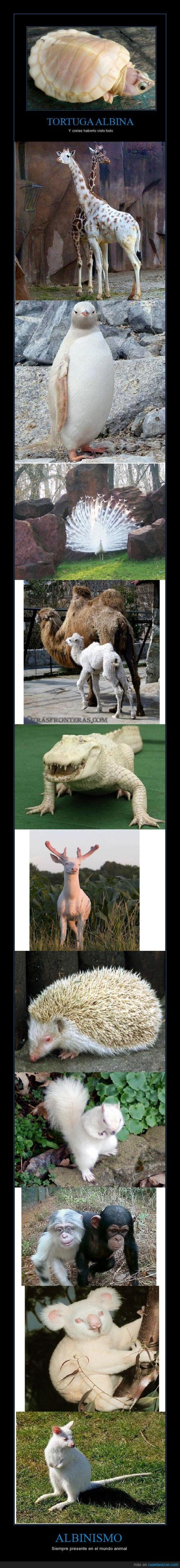 albinismo,albino,animales blancos,ardilla,canguro,cocodrilo,koala,mono,pavo real,pinguino
