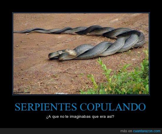 bien por ellos,copular,parece mimbre,serpientes