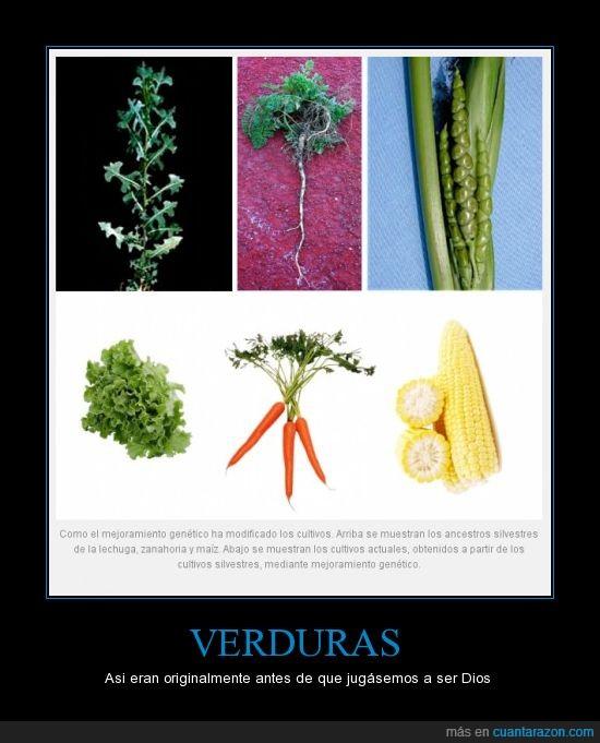genética,lechuga,maíz,verduras,zanahoria