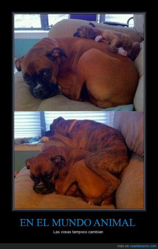 animal,boxer,cachorro,cambia,cosas,crece,encima,mundo,nunca,sofa