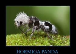 Enlace a HORMIGA PANDA