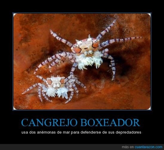 anémonas,boxeo,cangrejo,depredador