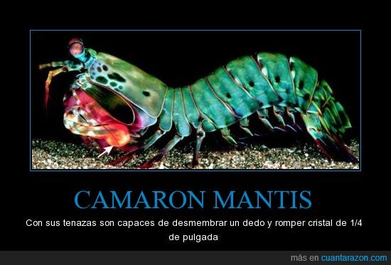 camaron,cortar,de,dedos,mantis,rajador