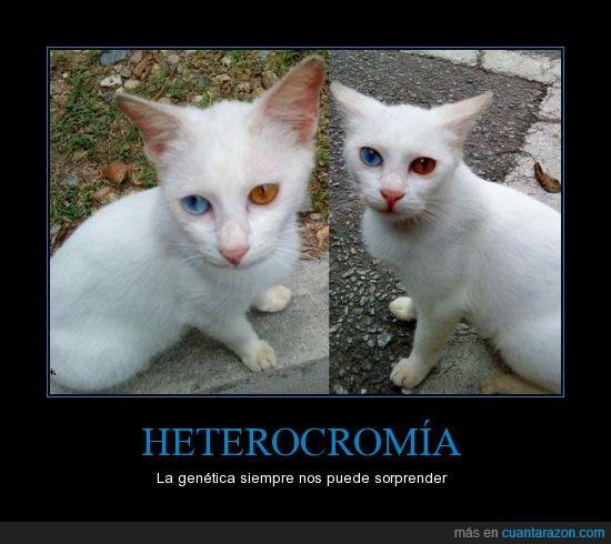 color,gato,heterocromía,impresionantes,ojos