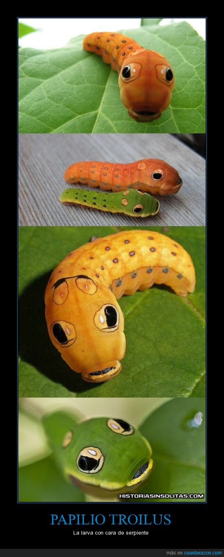 cara,cara graciosa,caterpie eres tú?,larva,papilio troilus,serpiente