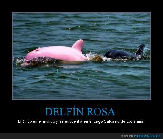 animal,animales,delfín,delfines,rosa,rosado