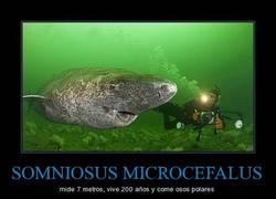 Enlace a SOMNIOSUS MICROCEFALUS