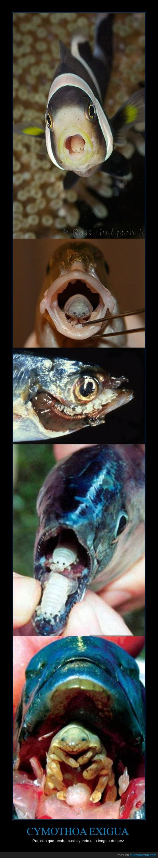Cymothoa,Exigua,garrapata,naturaleza,Parásito,pez,piojo