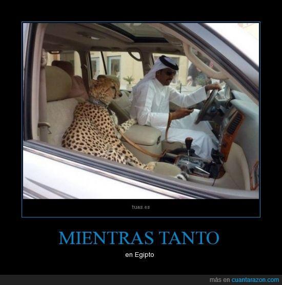 auto,egipto,gafas,guepardo,leon,leopardo,tunica