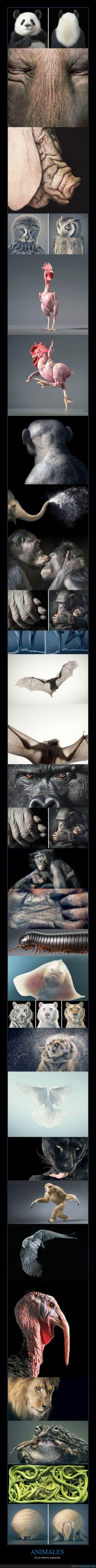 animales,armadillo,fotografias,gorila,impresionante,leon