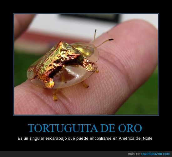 america del norte,bicho,escarabajo,tortuga de oro