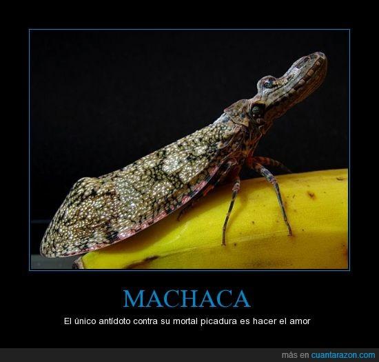 insecto,machaca,mortal,picadura