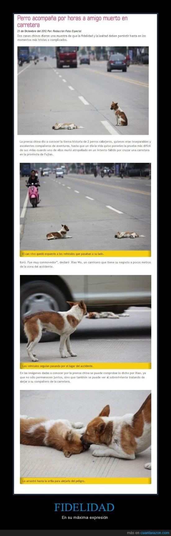 atropellado,can,carretera,chinos,fidelidad,fiel,perro