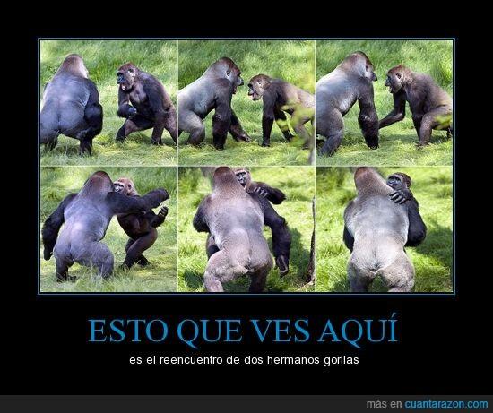 gorilas,hermanos,mundo animal,reencuentro