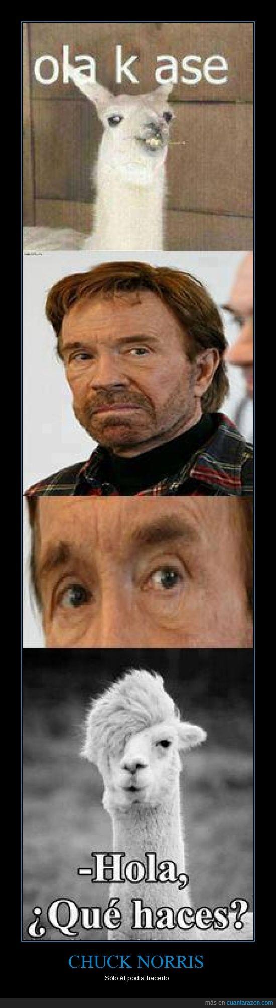 adiestrador,Chuck Norris,domador,educado,llama,ola k ase