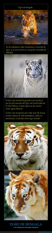 mutaciones,tigre blanco,Tigre de vengala,tigre dorado,Wikipedia