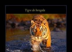 Enlace a TIGRE DE BENGALA