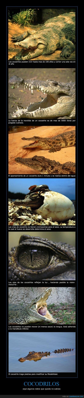 100,cocodrilos,curiosidades,flota,mordidas,no cromosomas sexuales,no sacar lengua,piedras,tragar