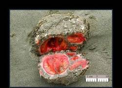 Enlace a Pyura chilensis