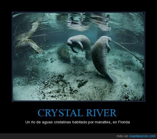 belleza,crystal river,estados unidos,florida,manaties,naturaleza,rio cristalino
