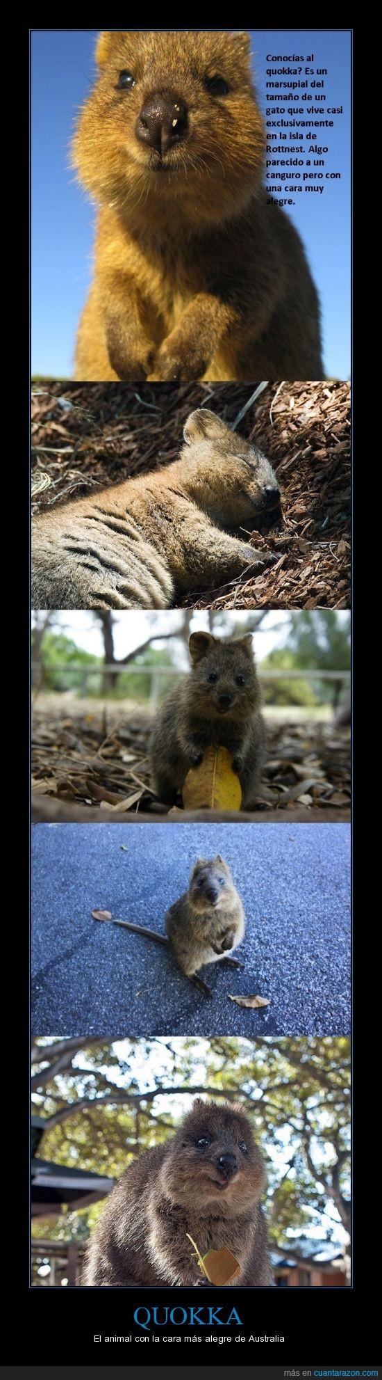alegría,Australia,marsupial,Quokka,sonrisa