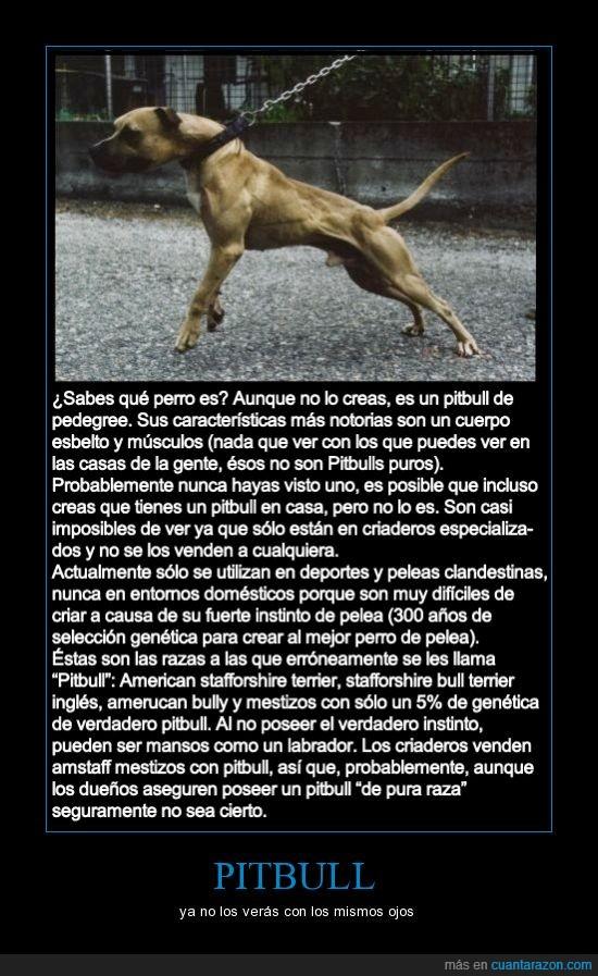 american bully,american stafforshire terrier,el pitbull falso y el verdadero,mestizos,pedegree,pibull,stafforshire bull terrier ingles