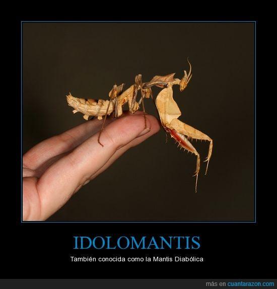 diabolica,idolomantis,insecto,mantis,religiosa