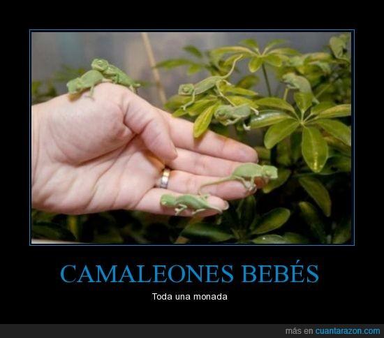 bebe,camaleón,cria,hoja,mano,mini,pequeño,verde
