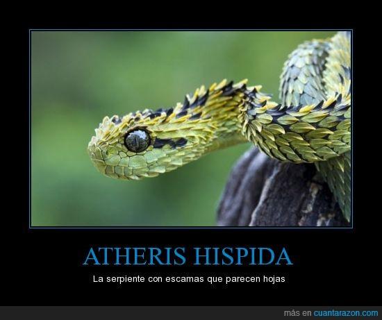 Atheris hispida,camuflaje,hojas,serpiente