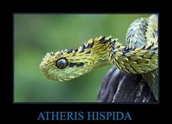 Enlace a ATHERIS HISPIDA