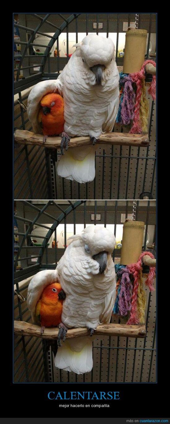 calentarse,loros,papagallos