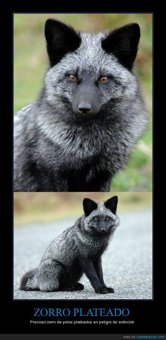 peligro de extinción,pelos,plateado,precioso,zorro