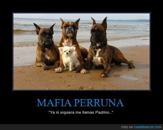 boxer,chihuahua,grande,perro,playa
