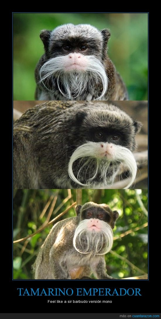 barba,cana,mono,tamarino