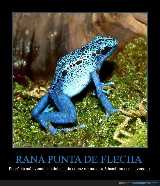 azul,colorida,hermosa,interesante,mortal,naturaleza,punta de flecha,rana,veveno