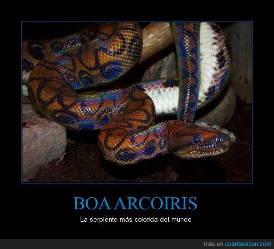 arcoiris,constrictora,hermosa,reptil,serpiente