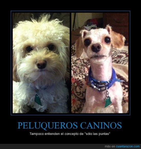 canino,pelo,peluquero,perro,puntas,solo