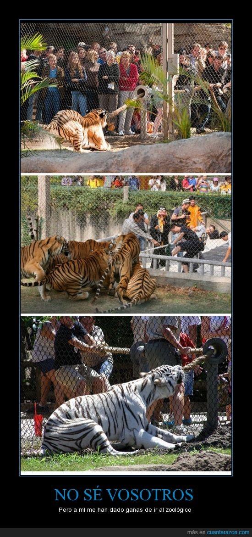 cuerda,jugar,personas,soga,tigres,tirar,zoo,zoologico