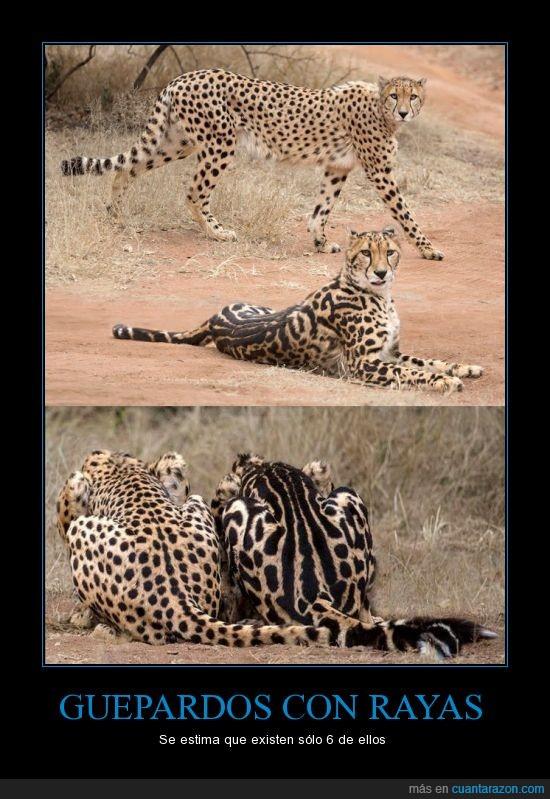 animales,guepardo,mancha,mota,naturaleza,rayas