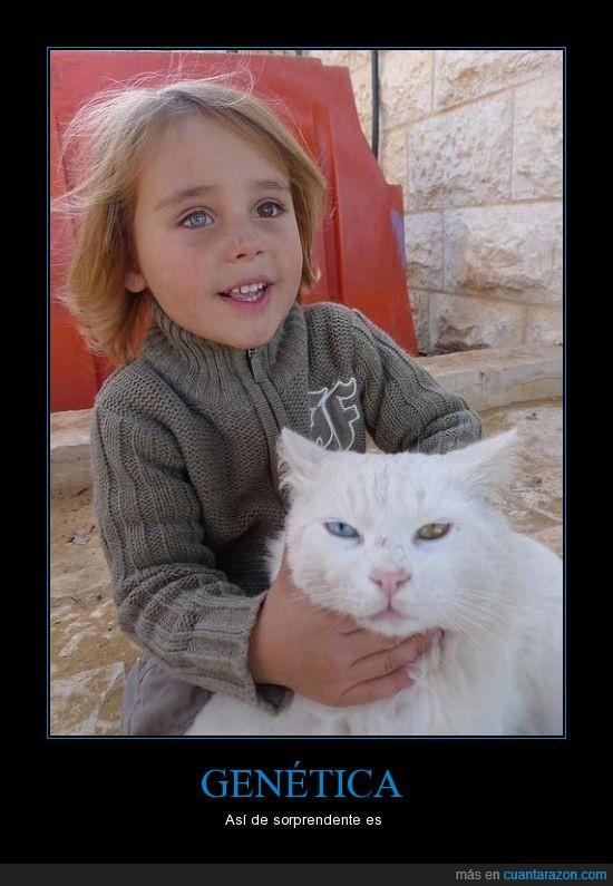 color,diferente,gatos,genética,heterocromia,mismo,niño,ojo