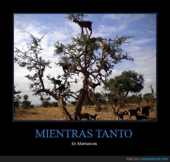 árboles,cabras,colgadas,marruecos,subidas,wtf