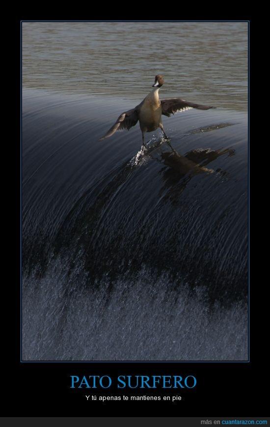 mar,ola,pato,surfear,surfer
