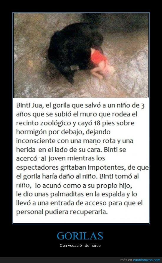 gorila,héroe,niño,salvar,zoo