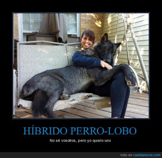 chica,gigante,grande,hibrido,lobo,perro