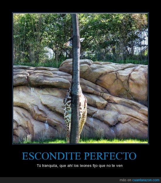 arbol,esconderse,jirafa,leones,palo,pillar,poste,tronco