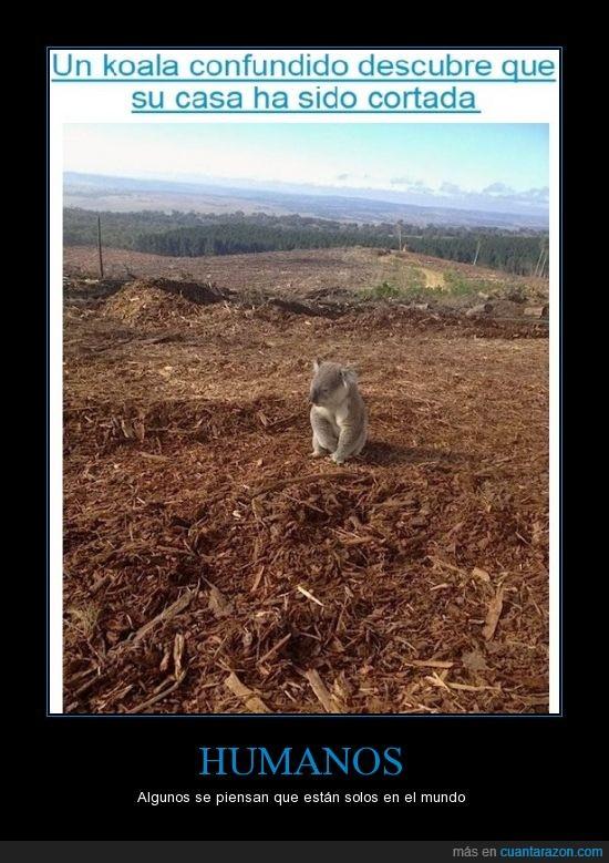 arbol,casa,confundido,cortado,koala,pobrecillo